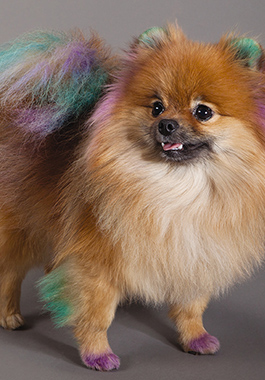 PETSMART EXCLUSIVE. Chalking for dogs for Pet Expressions. Chalk. MODEL: Luna, a Pomeranian who was hired through Arizona Animal Actors.